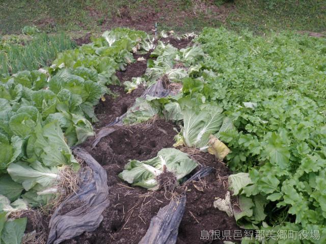 野菜畑を食い荒らす猪被害(提供:美郷町役場)