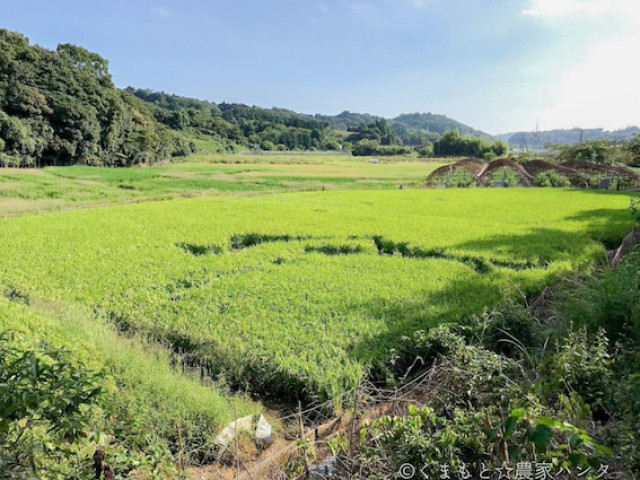 イノシシの侵入によってなぎ倒された水田(熊本県)
