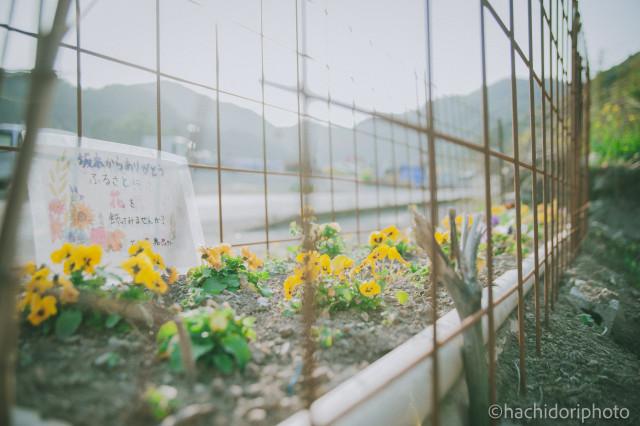 柵に守られたパンジー、熊本県八代市坂本町にて