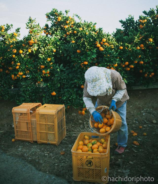 宇城市の柑橘農園で収穫作業中